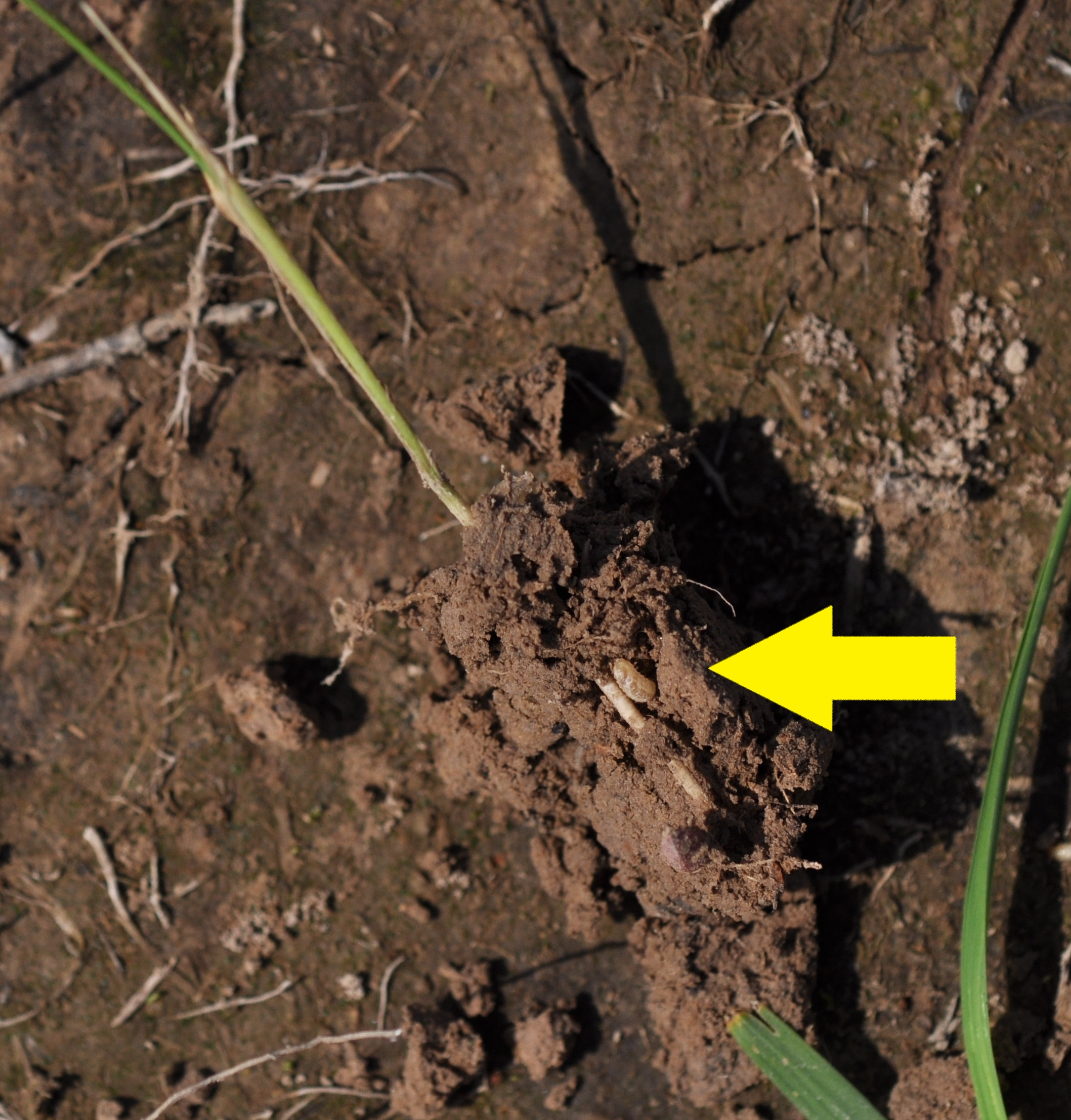 Ricetec louisiana rice insects for Where do we find soil